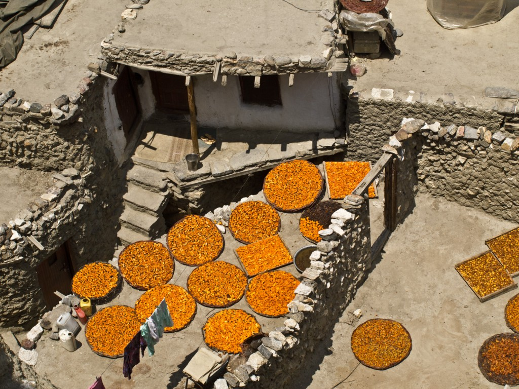 Apricots Drying, Pakistan