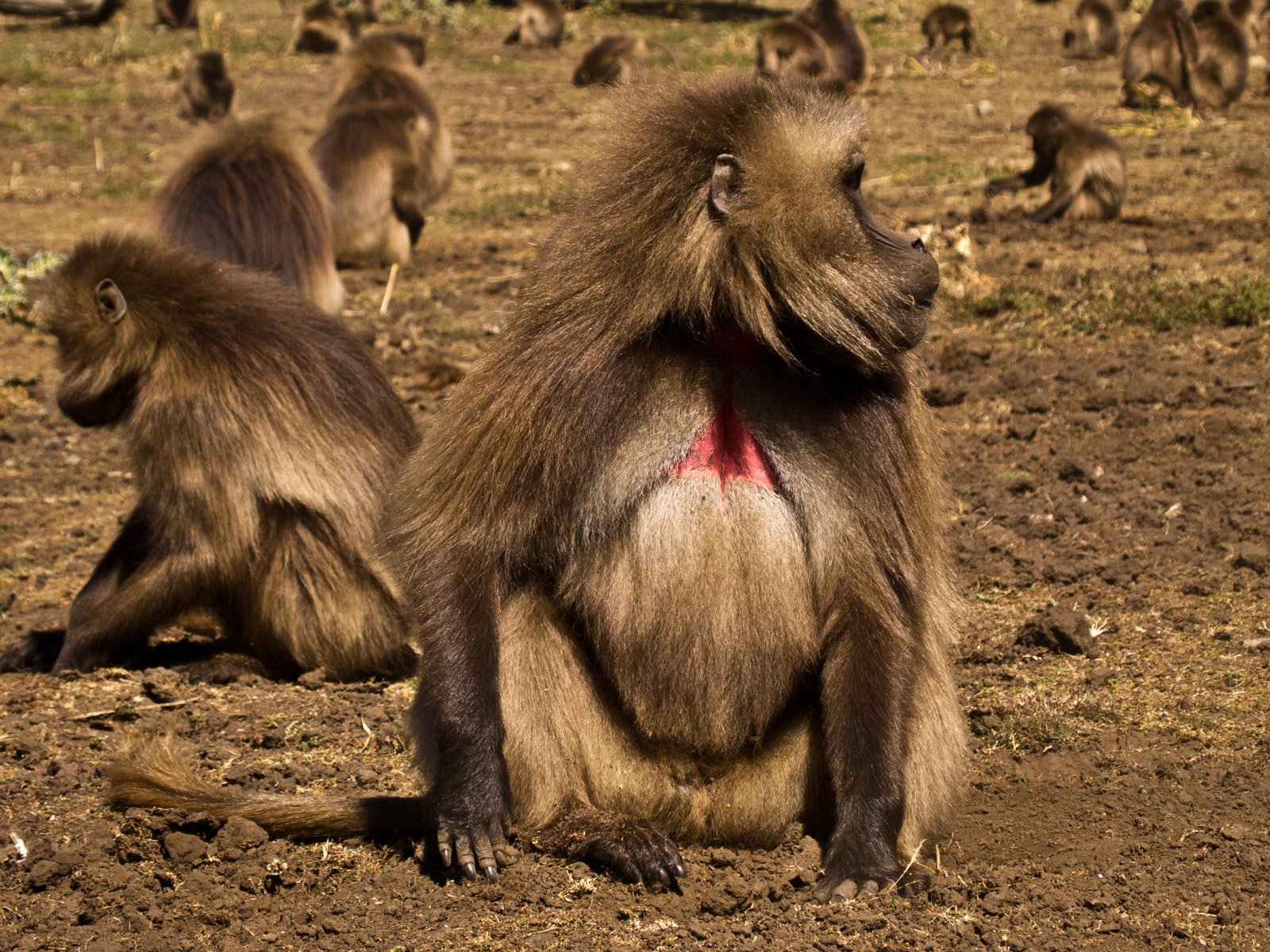 Baboons, Simien Mountains National Park, Ethiopia